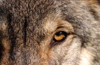 wolf-w800-h600
